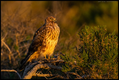 A female Northern Harrier basking in the late afternoon sun.  The afternoon as a whole had been overcast but a thin break in the clouds made for the best light possible.