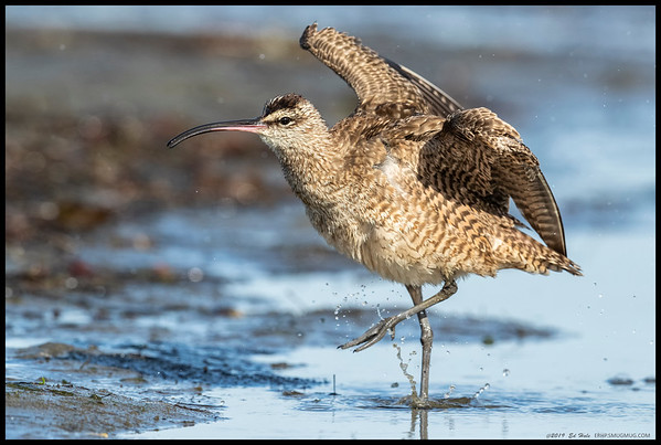A dancing Whimbrel.