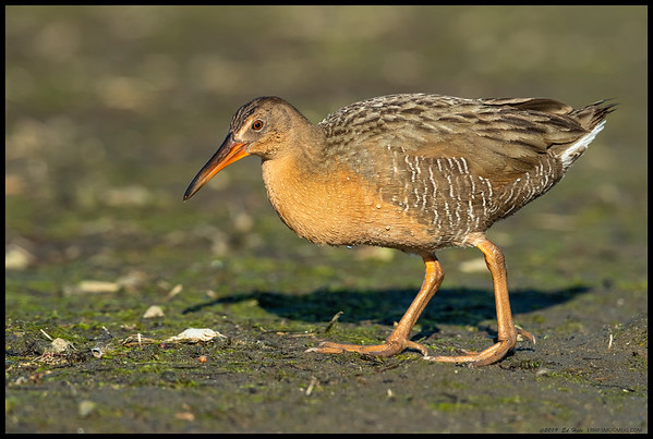A very cooperative Ridgeway's Rail along the bank of the San Diego River.