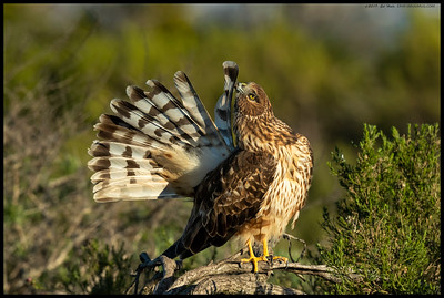 Sitting with a female Northern Harrier, watching as she preened each and every feather.