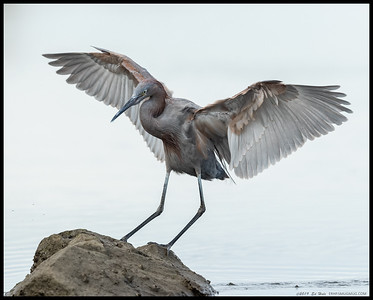 A high key take on the local juvenile Reddish Egret sticking the landing on a rock.