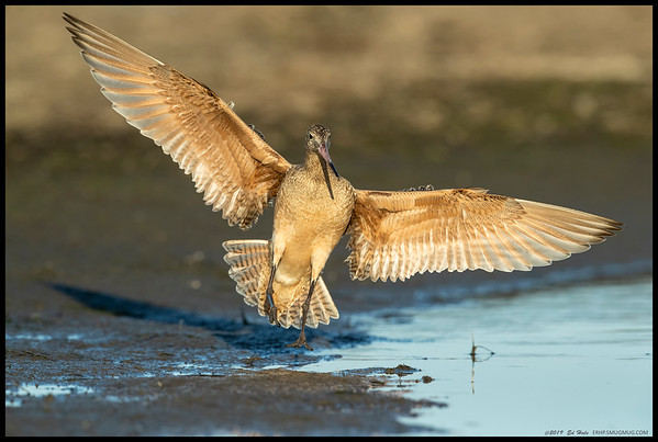 A Marbled Godwit just before touchdown.
