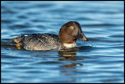 A female Common Goldeneye on one of her passes in front of the camera.