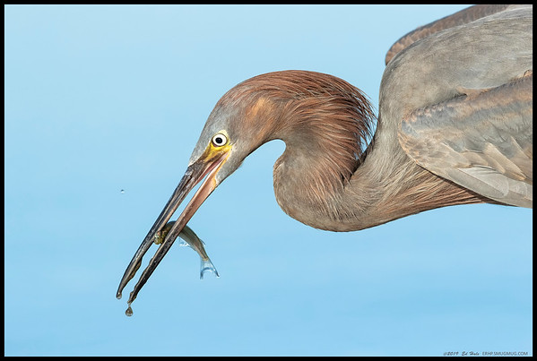 Another fish to feed the immature Reddish Egret.  For the better part of an hour this one chased fish and ate them right in front of the camera, most of the time too close to get full body shots.