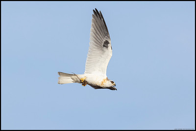 A juvenile White Tailed Kite with some 'takeout' for dinner.