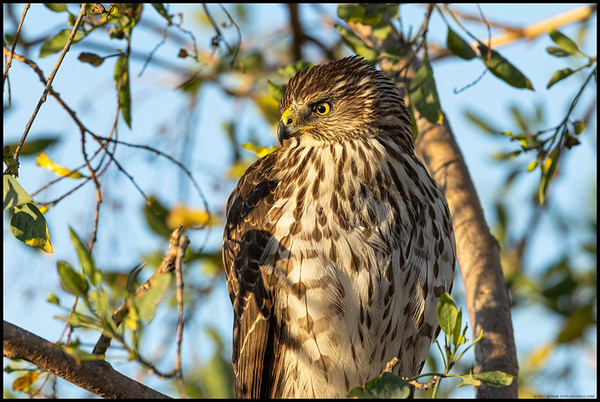 At dawn I was photographing a kite then had another photographer wander over and bump it off the perch.  As a consolation prize, this juvenile Cooper's Hawk flew in and landed on the same tree just after the other photographer left.  Of course one cannot take pictures without yet another person wandering over and this was the hawk looking in askance of the brush crackling, gear rattling person who lacked the foresight to prep his gear before coming anywhere near the subject.