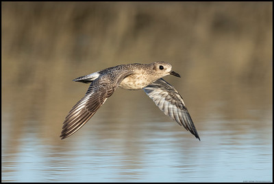 A solitary Black Bellied Plover made a quick pass over the pool.