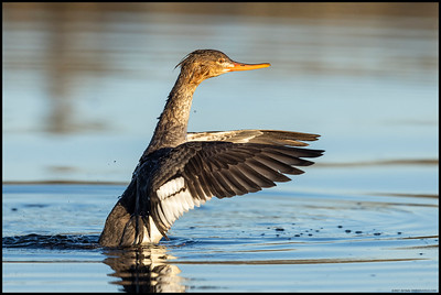 A female Red Breasted Merganser shaking everything out after a quick sprint to the pool.