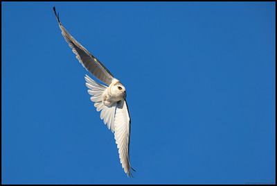 A juvenile White Tailed Kite in the process of turning for another run on an 'intruding' Red Tailed Hawk.