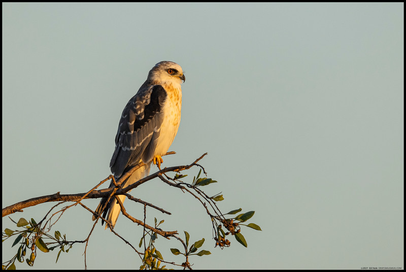 Content to just watch the sunset (and any unwary mice), the kite sat there until a juvenile Cooper's Hawk tried to slip by unnoticed.