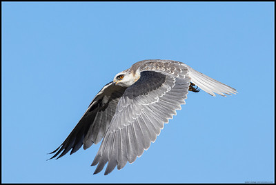 A juvenile White Tailed Kite just after takeoff.