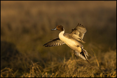 A Northern Pintail drake on final during some of the last light of the evening.