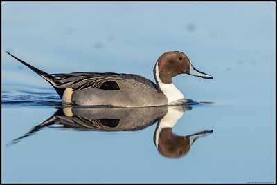 One of the male Northern Pintails had wandered up the inlet early in the morning and was now on his way back out for more open water.