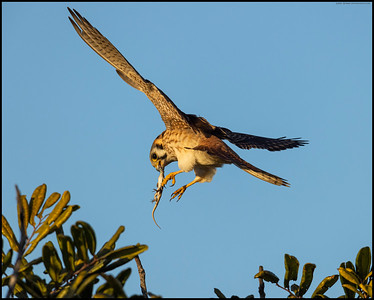 Lizard #2 for this session with a female American Kestrel.