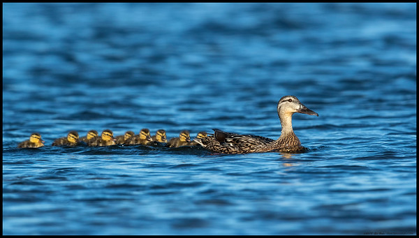 Momma Mallard and nine ducklings making their way downriver.