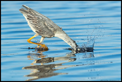 A Yellow Crowned Night Heron making a strike through the water to catch a crab on the bottom.