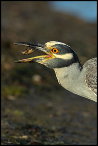 This striking Yellow Crowned Night Heron did not mind demonstrating the finer points of Crab Tossing 101.