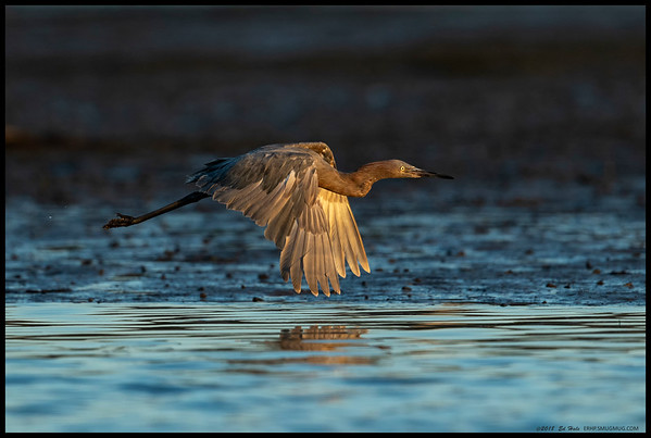 Our local juvenile Reddish Egret flying towards the setting sun.