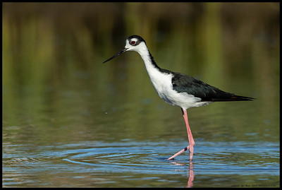 One of the Black Necked Stilts decided to venture around the reeds and into an open area.