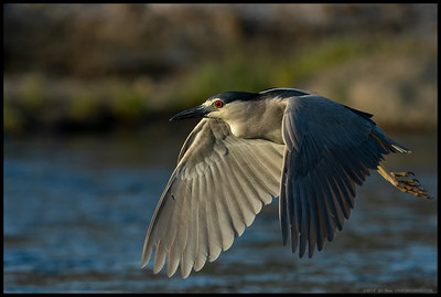 Black Crowned Night Heron during a short flight across the channel.