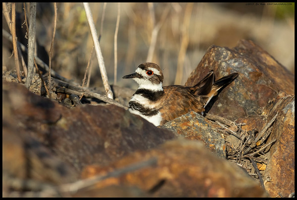One of the Killdeer parents readjusting after rotating 30 degrees on the three eggs.