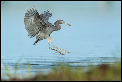 Little Blue Heron coming in for a landing with junior following just off the screen to the left.