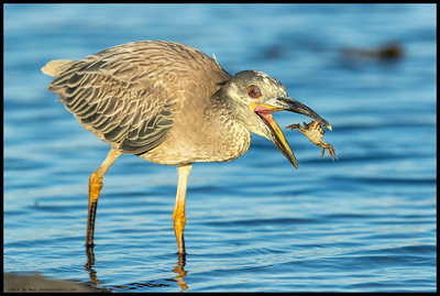 A not quite full adult Yellow Crowned Night Heron practices tossing the crab around.