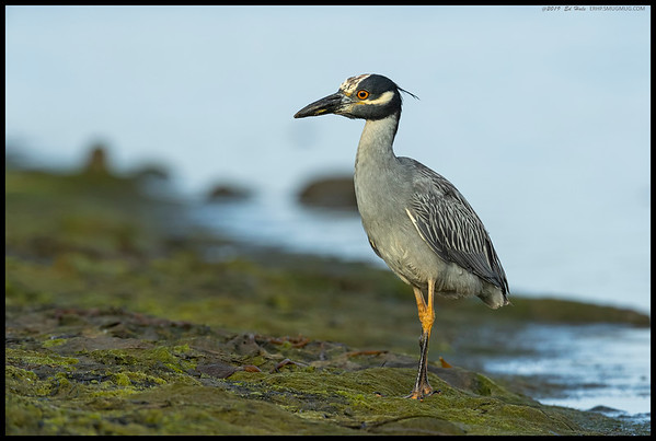 A Yellow Crowned Night Heron took a moment to pose along the shoreline.