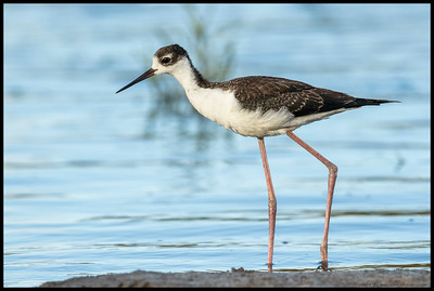 A juvenile Black Necked Stilt out foraging along the banks of the slough.
