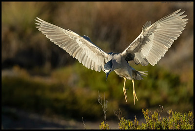 A Black Crowned Night Heron just before landing on 'its' spot.