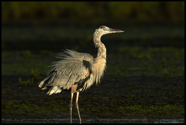Great Blue Heron shaking it off after missing a fish.