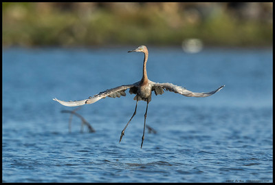 This juvenile Reddish Egret had some erratic 'dance' moves, but they usually ended up with a fish in the bill.