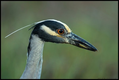 After a bit of time studying the reflection in the lens, this Yellow Crowned Night Heron started looking for a snack.