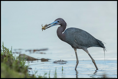 With the warmer weather, crabs are back in season, as this Little Blue Heron brings one back to the shore for some fine dining.