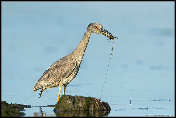 A juvenile Yellow Crowned Night Heron with a prize.