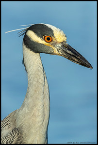 A portrait of an adult Yellow Crowned Night Heron.