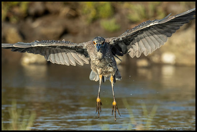A sub-adult Yellow Crowned Night Heron coming in for a landing.