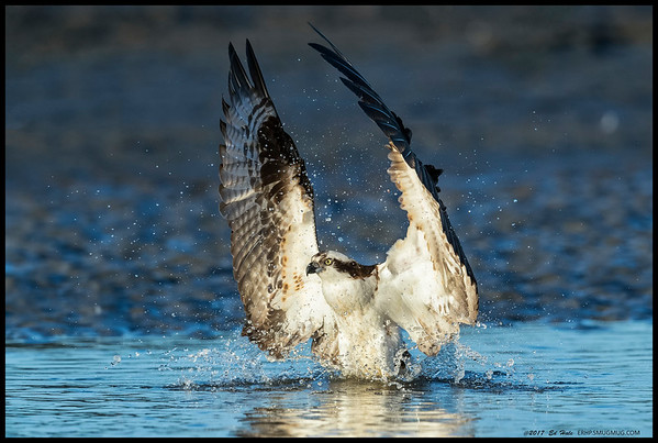 Osprey making a grand entrance