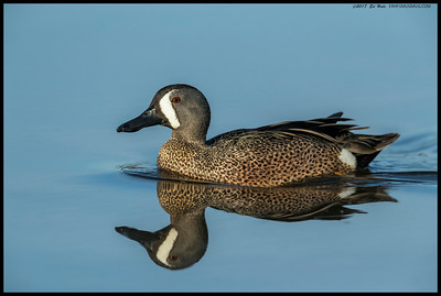 One of the Blue Winged Teal passed by during slack water to give me a great reflection shot.