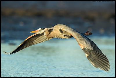 A Great Blue Heron passing by.  Always thought it is interesting how they always seem to have a destination picked out even if they couldn't see it from their previous spot.