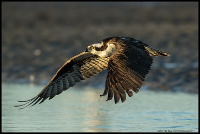 An Osprey flying low across the water before gaining altitude and beginning another search for dinner.