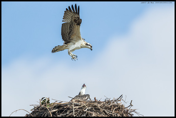 Juvenile Osprey learning to fly while the sibling looks on.