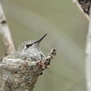 One of the nesting Anna's Hummingbirds during a quick feeding session from mom.