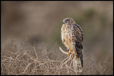 This female Northern Harrier did not mind me taking a few pictures but wasn't really fond of someone's off leash dog crashing through the nearby brush in her direction.
