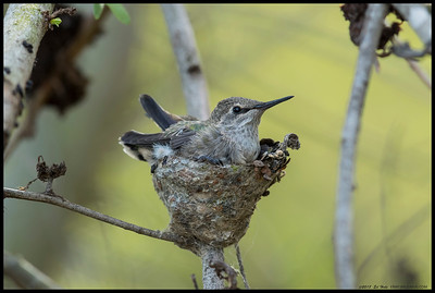 One of this Anna's Hummingbird chick's last hours in the nest before fledging.