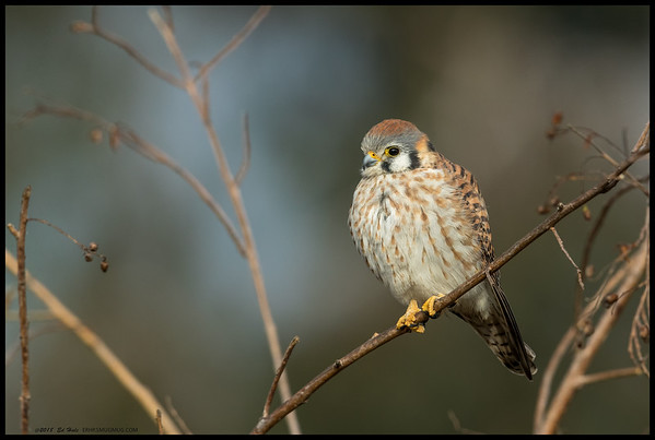 On the same morning of the rainstorm I happened to find another female Kestrel just as the sun broke through.