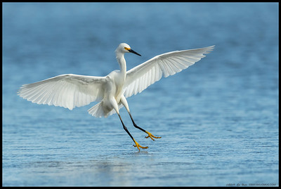 A Snowy Egret the split second before touchdown in the shallow waters.