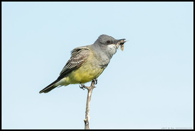 Cassin's Kingbird with one of the many moths enjoying the blooms.
