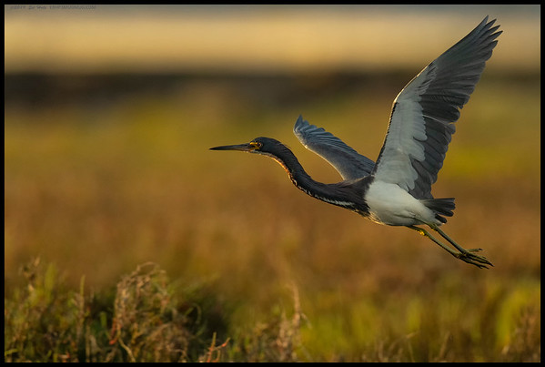 Our local Tri-Colored Heron taking flight towards the setting sun.