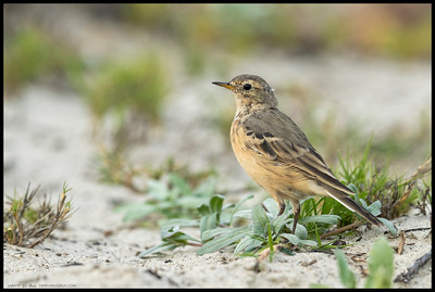 An American Pipit stopped long enough to give me the look over the shoulder.